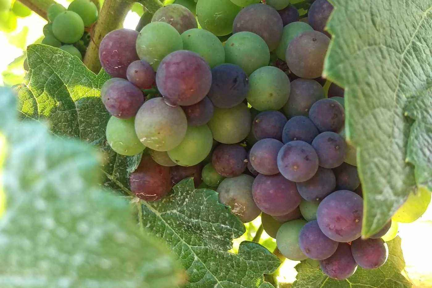 Pinot noir cluster during verasion