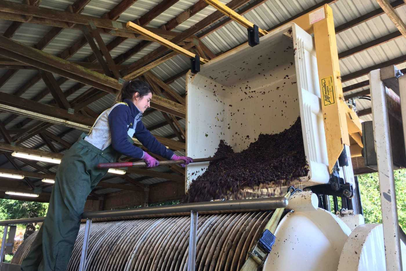 Krystal working the winepress during Harvest
