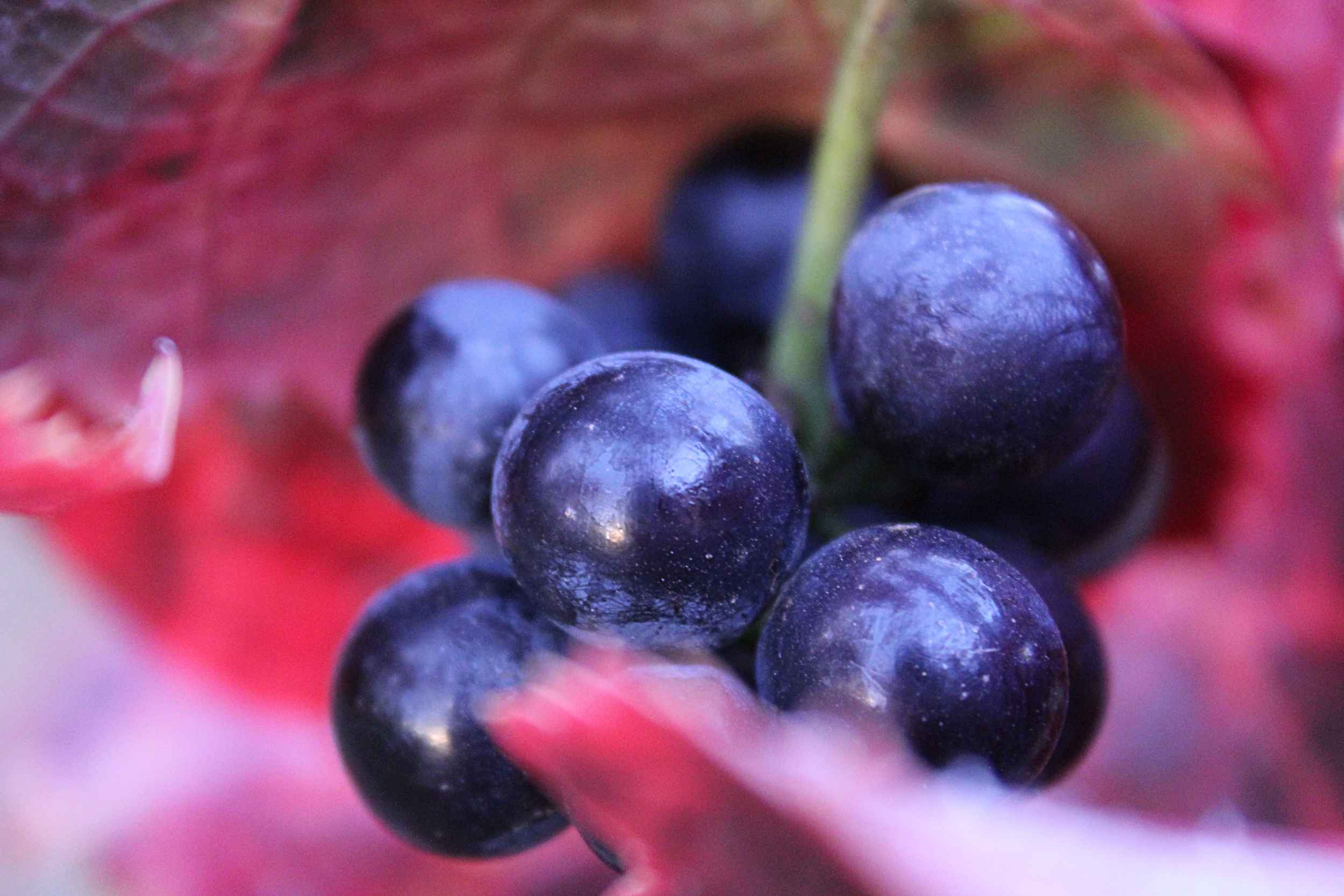 Pinot Noir Dijon grapes in Fall