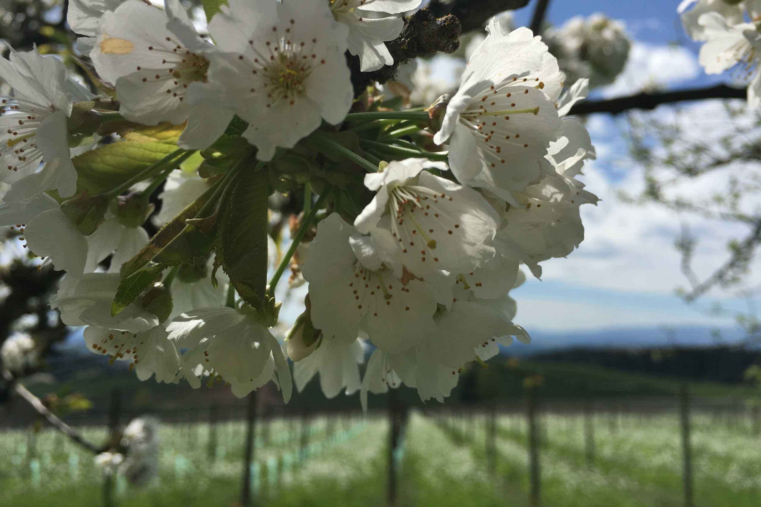 Spring flowering tree in the vineyard