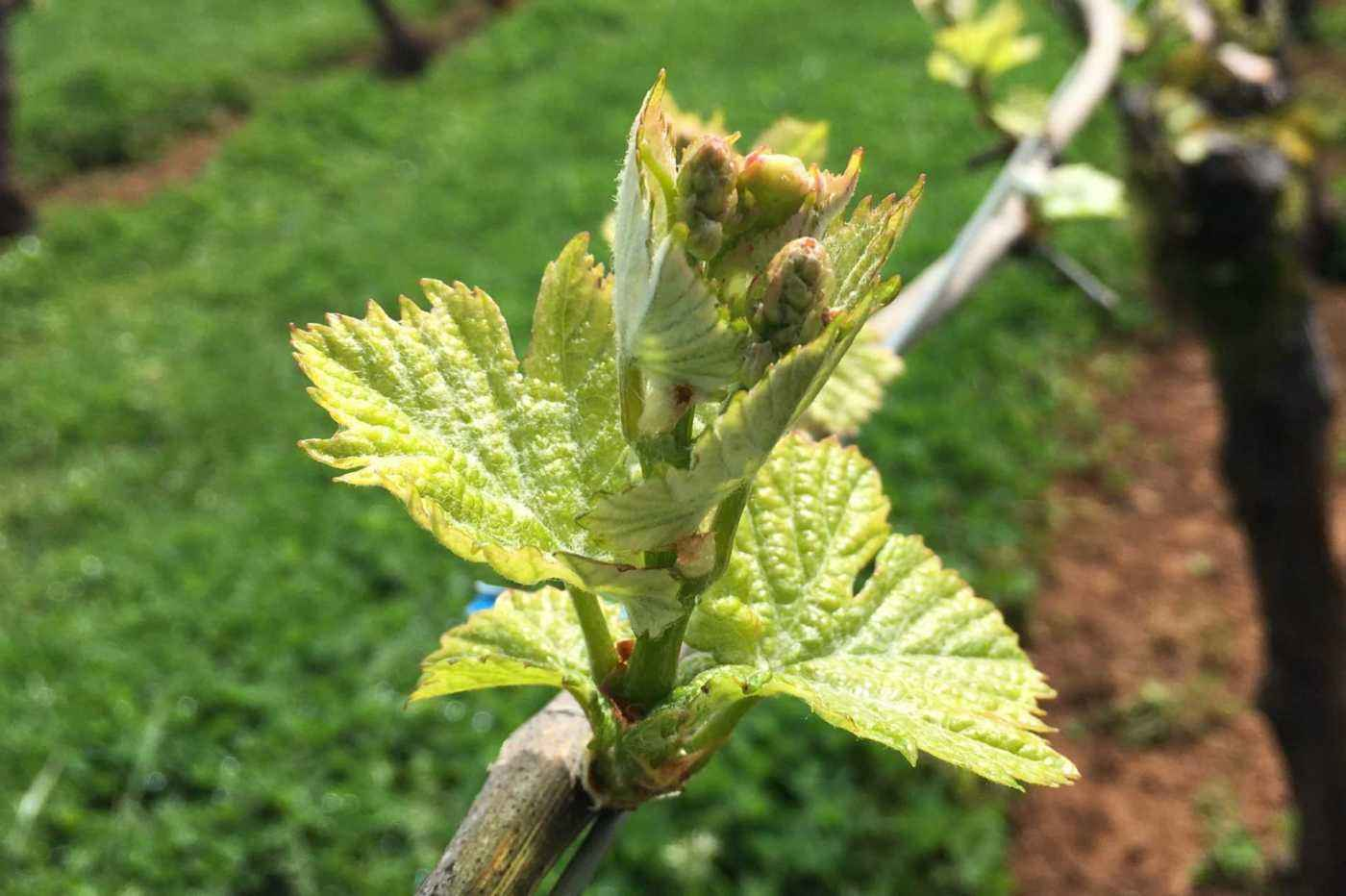 Vineyard new growth