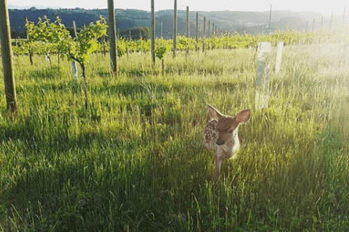 Spring fawn in the vineyard