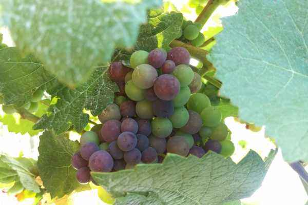 Pinot Noir grapes going through verasion